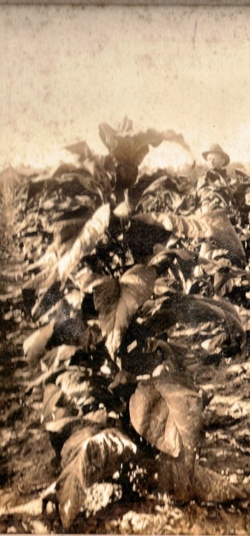 Berrien County, GA tobacco crop, circa 1920s-30s. Image detail courtesy of http://berriencountyga.com/