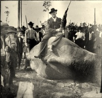 Valdosta Police Chief Dampier used a borrowed Krag-Jorgensen rifle to bring down the rampaging elephant, Gypsy, in November 1902.