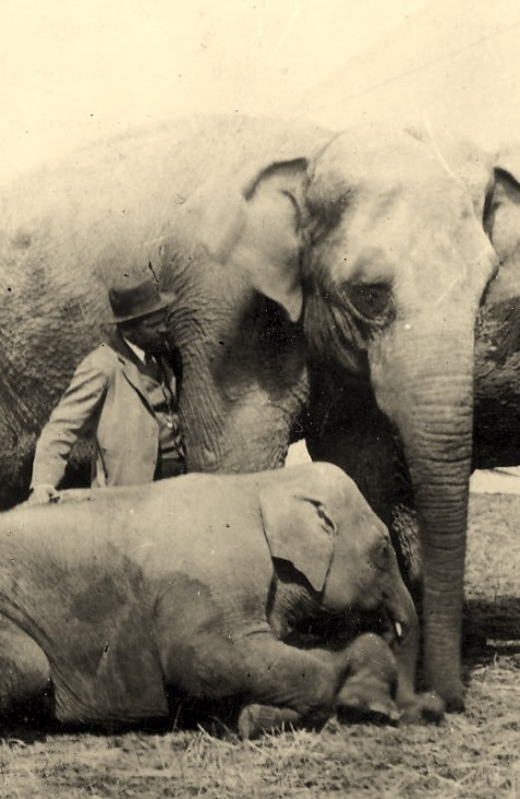 Gypsy the elephant about 1894, with trainer Fatty Shea, and a smaller elephant possibly Pearl. During this time Gypsy was with the George W. Hall circus.