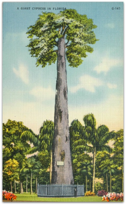 Big Tree, Longwood, FL.  postcard circa 1944.