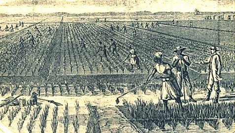 Slaves working in the rice fields.